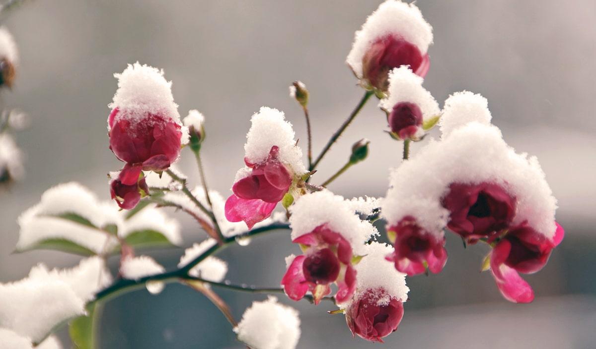 Banner Rosen im Schnee